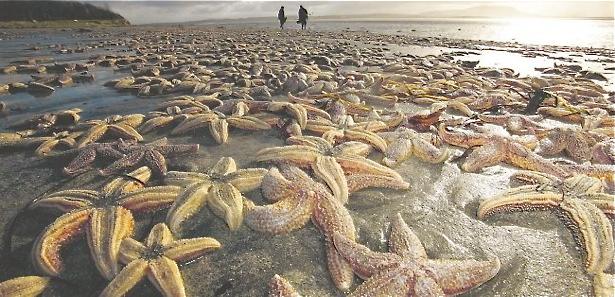 Mysterious standing on Irish beach involved 50,000 starfish